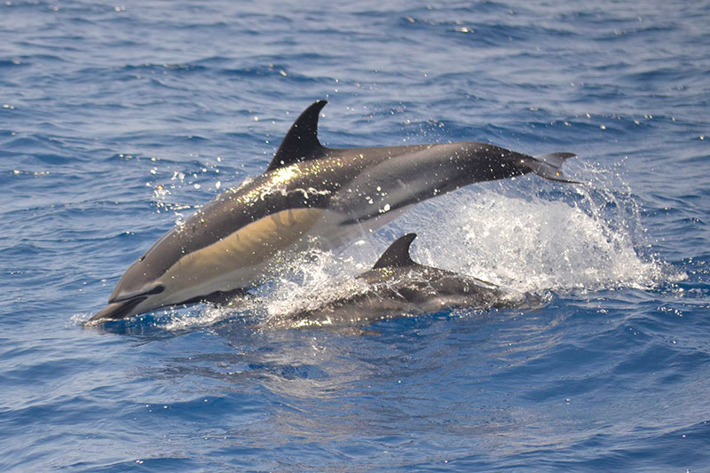 Whale and dolphins watching in their natural environment in Tenerife South