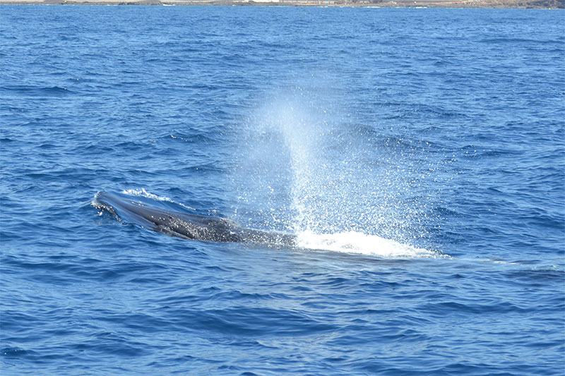 Cetacean Watching in its natural environment in Tenerife South